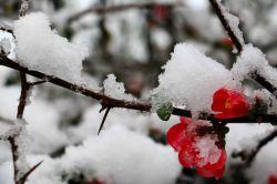 برف و گل .  اولین برف زمستانی رشت