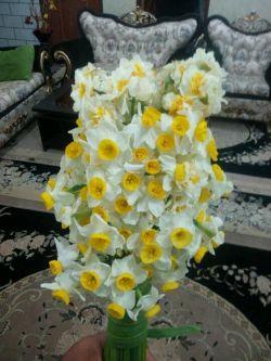 اینام گلهای نرگس