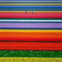 مزارع گل لاله درهلند