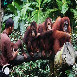 باغوحش سنگاپوریکی از جاذبه های گردشگری کشور مالزی می باشد. این باغ وحش 27 ژوئن 1973 در منطقهای سرسبز و پوشیده از گیاهان مختلف به مساحت 28 هکتار گسترش یافت،سپس 40 هکتار جنگل هم به آن اضافه شد و باغوحش توسعه یافت.طراحان این باغوحش پیشرفته از ابتدا محیط طبیعی مناسبی را برای انواع گونههای جانوری در آن در نظر گرفته بودند. در حال حاضر این باغ وحش 315 گونه مختلف جانوری را در معرض دید گردشگران گذاشته و بیشتر این جانوران به طور آزادانه در محیطی باز زندگی میکنند.