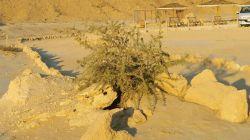 این درختچه در ورودی جزیره ستاره ها - قشم- ایران