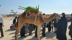 شتر سواری در جزیره هنگام - قشم