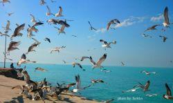 بوشهر _ مرغ دریایی