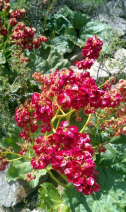 گل ریواس