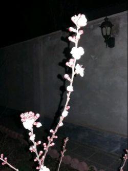 اولین شکوفهایه بهاری در آذربایجان