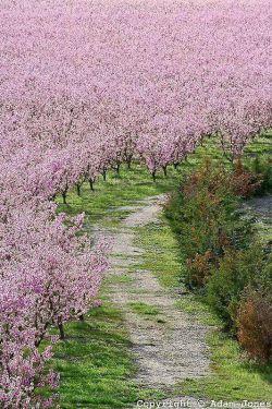 زیر شکوفه های درختان هلو