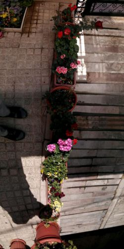 پانروما گل های حیاط