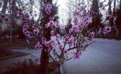 شکوفه های بهاری درختی در دانشگاه تهران^_^