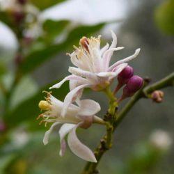 #شکوفه #درخت #لیموترش. بوی خوش بهار در دشت و بوستان های جنوب #لبنان پیچیده است.