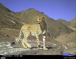 یوز ایرانی- عکس با دوربین تله ایی در منطقه حفاظت شده نایبندان