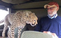 یوزپلنگ برای انسان خطری ندارد.