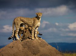 یوزپلنگ آفریقایی با 4 توله.