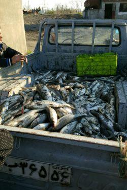 ماهی های تازه صیدشده در انزلی