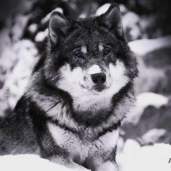 _گرگهای این حوالی از سرما انقدر برایت سوزناک زوزه می کشند، که تو با تمام سادگیت برایشان شال و کلاه میبافی و یک شب بی سر و صدا تو را میدرند.. تا اثبات کنند ذات یک گرگ درندگی و وحشی صفتی ست...
