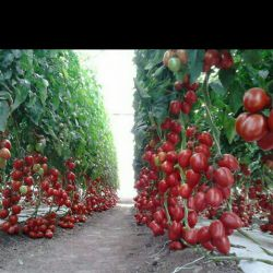 گوجه های باغ همساده:))))