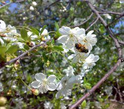 شکوفه های آلبالو و حاج زنبور عسل داره غذا میخوره