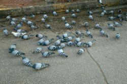 کبوتر های حرم امام حسین در شارع سدره