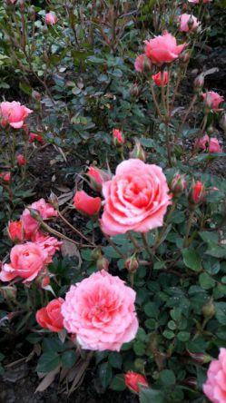 تقدیم به دوستان لنزور امروز باغ گل