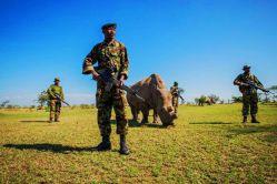 مردان مسلح از آخرین کرگدن سفید شمالی کنیا به صورت ۲۴ ساعته محافظت میکنند.