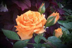 گل عمر میگذرد...