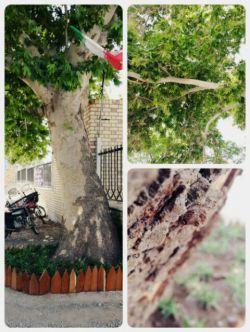 درخت جلوی دانشکده غفاری که بعضا ناملایمتی باهاش میشه. بچه ها کچلش کردن!!