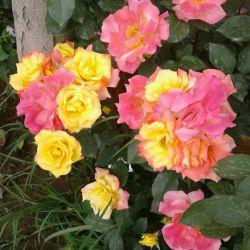 گل های باغچمون