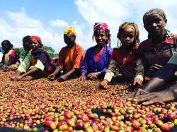 کارگران مشغول کارند  در مزارع قهوه