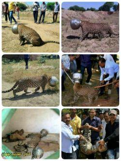 کلاغ نیوز: سر یک پلنگ,در روستای راجستان در هند درون یک قابلمه گیر کرده بود و این حیوان را عاجز کرده بود که با 6ساعت پرسه زدن کنار این روستا به امید نجات ,توسط اهالی پیدا و نجات پیدا کرد