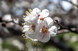 من آن درخت زمستانی ، بر آستان بهارانم که جز به طعنه نمی خندد، شکوفه بر تن عریانم زنوشخند سحرگاهان ،خبر چگونه توانم داشت منی که در شب بی پایان،گواه گریه بارانم  #spring #emotional #colorful #blooms #tabriz #iran #myshot #onshot #bestshot #nikon #nikond3300 #d3300 #nikon_photo #nikonshot #nikon_shot #nikonphotography #nikon_photography #iran_nikon #aquarius_photography