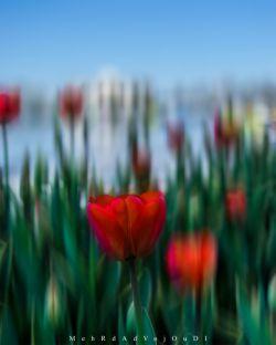 #spring #tulips #beautifulsity #beautifultabriz #tabriz #iran #myshot #onshot #bestshot #colorful #nikon #nikond3300 #d3300 #nikon_photo #nikon_top #nikon #nikonshot #nikon_shot #nikonphotography #nikon_photography #iran_nikon #aquarius_photography