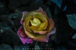 ناگه به رهت رفت دلم، راهِ خطا رفت این ره پُرِ گل بود و فکرم به فنا رفت زیبایی و آوازِ خوش بلبل این دشت با حیلهی گل، خار برآن حنجرِ ما رفت در باغ دلش شوق به پرواز همی بود با دیدن و بوئیدن گل سر به ثنا رفت کافر شد و دلداده و دین باخت به آن مه پرواز رها کرده و دلخوش به سرا رفت مستانه به آغوشِ گُل آلود خودش را خارِ گلِ بیدل فرو رفته پرِ او به فنا رفت لعنت به تو و ذات تو باد ای گلِ پُر خار عاشق کشی،آه رسم وفا کو که هلا رفت