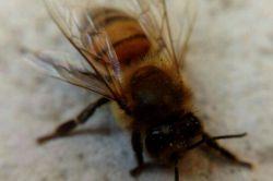 زنبور عسل. عکاس خودم
