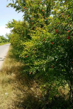 شکوفه انار ده روز پیش تو جاده سیاهکل