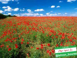 گل های قشنگ لاله قرمز