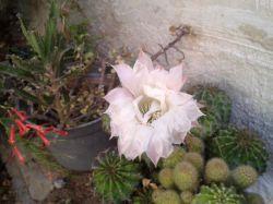 گل كاكتوس توپی