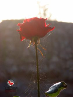 این عکس هم شاید به نظرتون عکس معمولی باشه ولی گل رز مظهر عشق یا دوست داشتن-تار عنکبوت هم مظهر فراموشی و از یاد بردن-با هم ترکیب بشن میشه عشق فراموش شده-سال 89-عکس : بهرام حاجی زاده