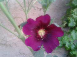 گل ختمی