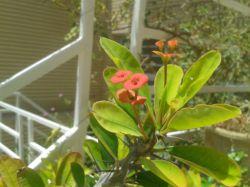 گل مرجان
