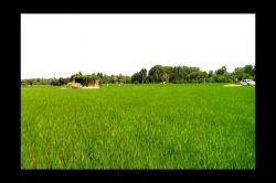 می گویند نام برنج در واقع بِرَنْجْ بوده است،... زیرا که کشت آن بسیار سخت است. سلامتی کشاورزای زحمت کش صلواة