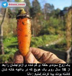 یک زوج سوئدى حلقه ى گم شده ى ازدواجشان را بعد از 16 سال روى یک هویج که در باغچه خانه شان کاشته بودند پیدا کردند./منبع : دانا