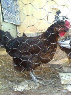 مرغ عزیز من(طلا خانم)