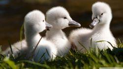 sweet_baby_swans-wallpaper-2048x1152[1]