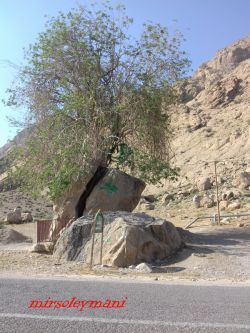 درختی در امامزاده شاه غیب که از وسط دوتا سنگ بیرون اومده