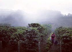 مزارع زیبایی از قهوه