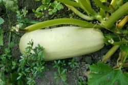 اینم محصول باغ خودمون کدو