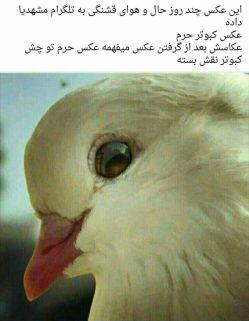 کبوتر حرم....