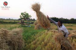 گیلان-شهرستان صومعه سرا-روستای پشتیر-فصل کار برنج-95/5/21-عکس : بهرام حاجی زاده