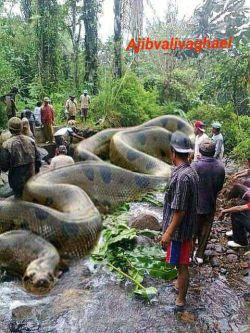 بزرگترین مار جهان بنام آناکوندا بطول 134 فوت و 2067کیلوگرم در جنگل آمازون  توسط گروه Africa's Royal British commandos کشته شد،این مار 257 انسان و 2325 حیوان را خورده بود
