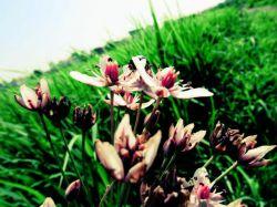 تک گل شالیزار