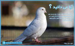 آیا می دانستید که کبوتر ماده اگر تنها و دور از هم جنسان خود باشد،نمی تواند تخم بگذارد،امّا اگر خود را در آینه ببیند به تصور اینکه کبوتر دیگری وجود دارد تخم می گذارد. منبع سایت بیتوته http://www.beytoote.com